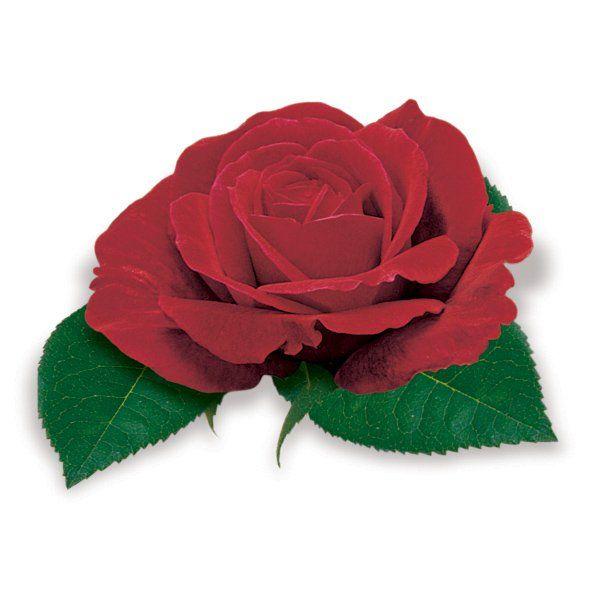 Róża wielkokwiatowa bordowa - Rosa 'Dama de Coeur'