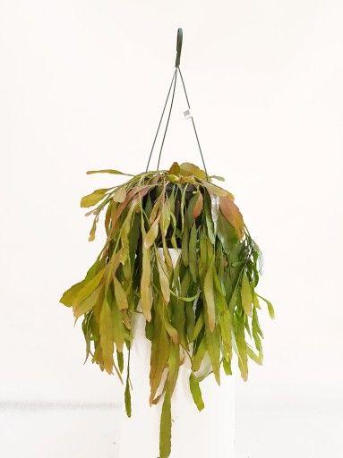 Rhipsalis Patyczak Ramulosa Dł Ok 40 Cm Rośliny