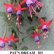 Hardy fuschia Pats Dream