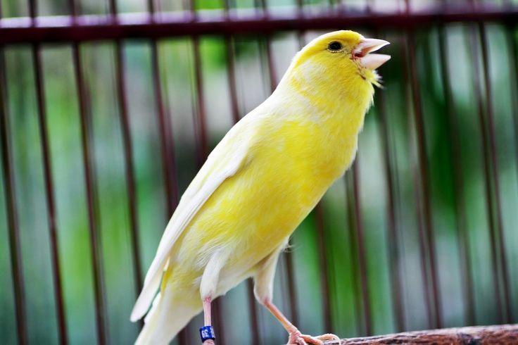 kenari gacor, burung kenari gacor, burung kenari juara, suara burung kenari, burung kenari merupakan burung termahal di dunia. banyak orang yang suka dengan