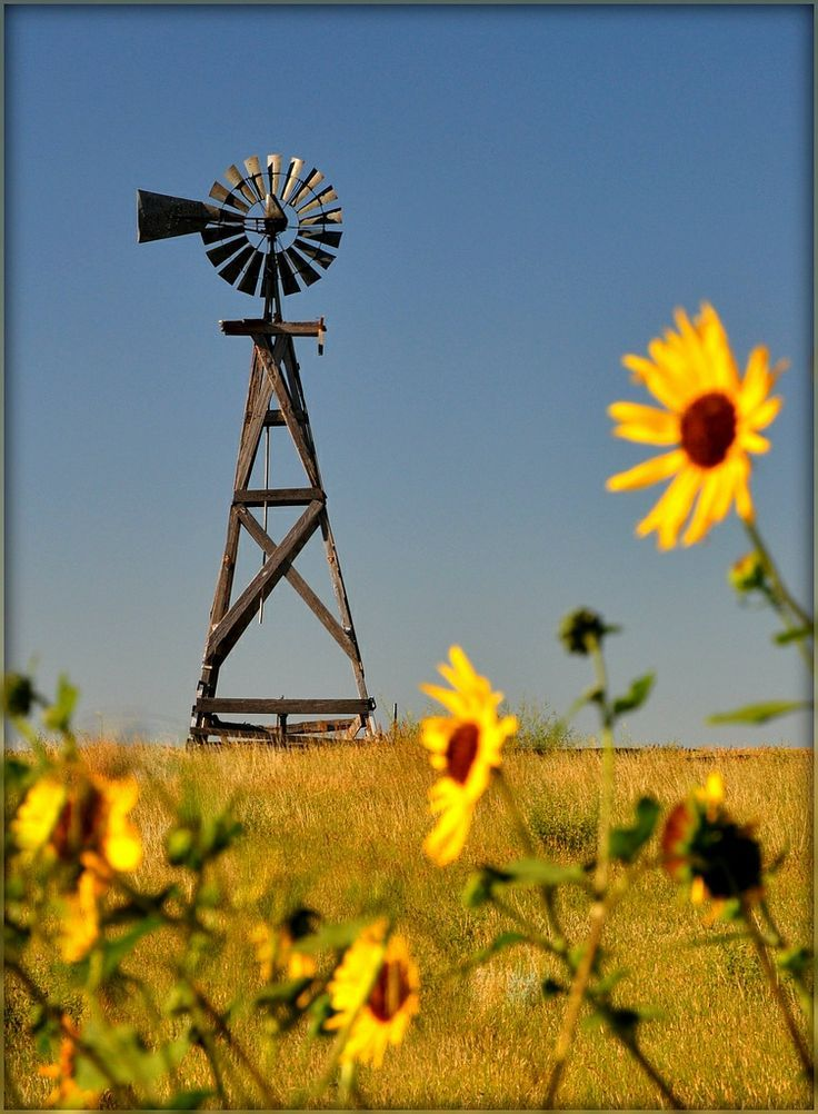 Black-eyed flowers facing a windmill