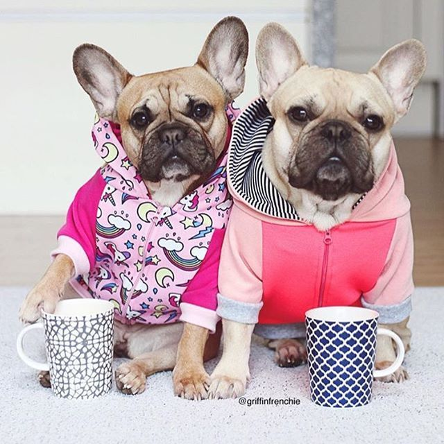 French Bulldogs And Frenchton S Image By Christine Lane Bulldog