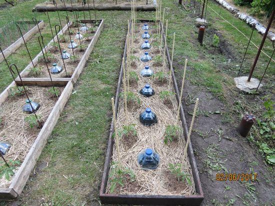 Новые подпорки для помидорных кустов   Дача 21 Века!