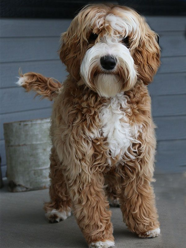 Labradoodle puppy availability is dependent on mother nature. If we have more puppiesthan expected, we will re-open the reservation list.