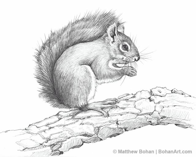 American red squirrel pencil sketch matthew bohan art pinterest american red squirrel red squirrel and squirrel