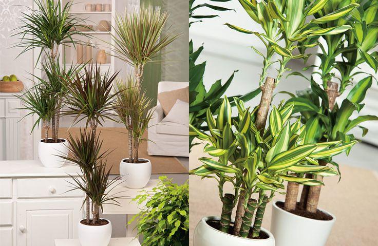 6x grote kamerplanten als blikvanger. #kamerplant #wonen #dracaena #Drakenbloedboom