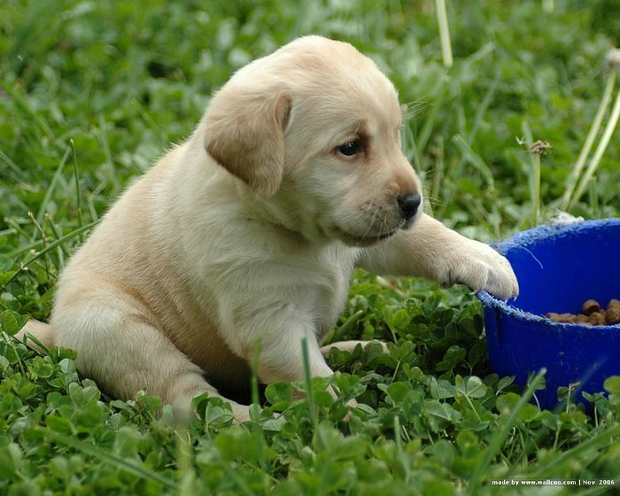 30 Best Yellow Labrador Retriever Pictures And Images - Damian Puppies