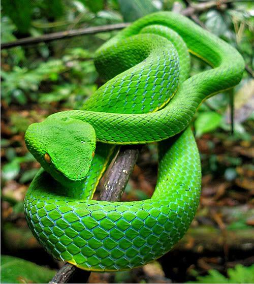 Animal Lyfe Umn Gumprecht Green Pit Viper