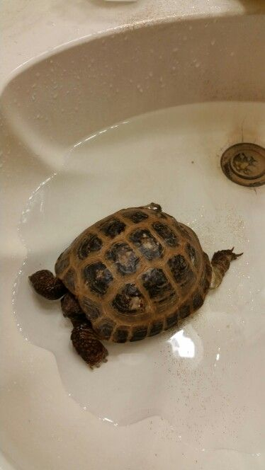 ♥ Pet Turtle ♥  Russian Tortoises cannot swim but should be soaked in lukewarm water up to the…