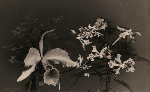 Jean-Marie Auradon. Two orchids 1932