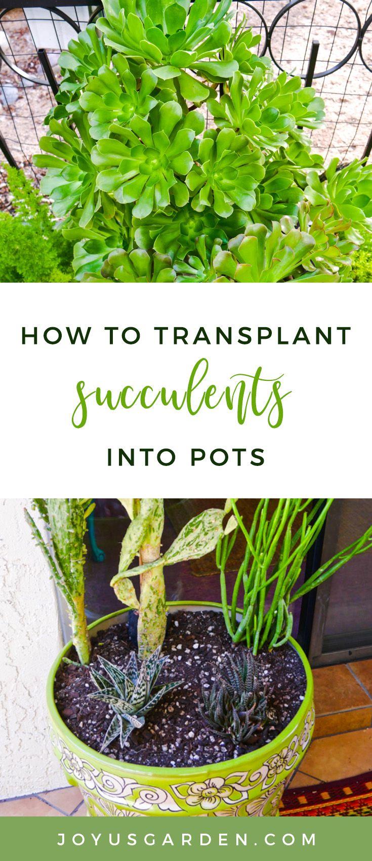 How To Transplant Succulents Into Pots Joy Us Garden Transplant Succulents Plants Succulents