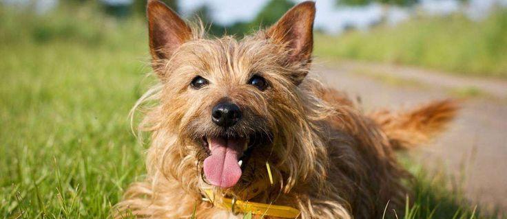 Dit ras is ontwikkeld in Australië en is geclassificeerd als een van de kleinste terriërs. Ze werden gefokt om een verscheidenheid aan vaardigheden te hebben zoals waakhond, herder, ongedierte jager en metgezel.