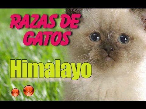 El Gato Himalayo - Las caracteristicas del Gato Himalayo - YouTube
