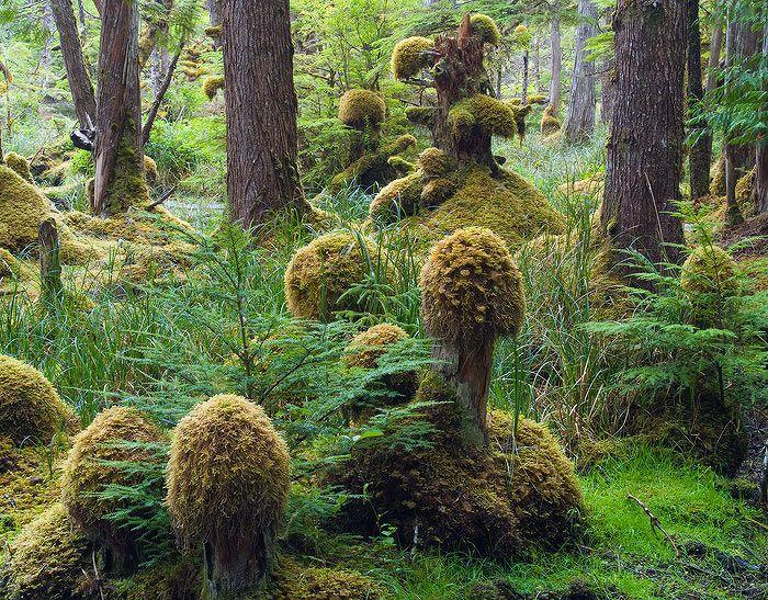 Amazing!  Swamp forest, Naikoon Provincial Park, Haida Gwaii, British Columbia, Canada.