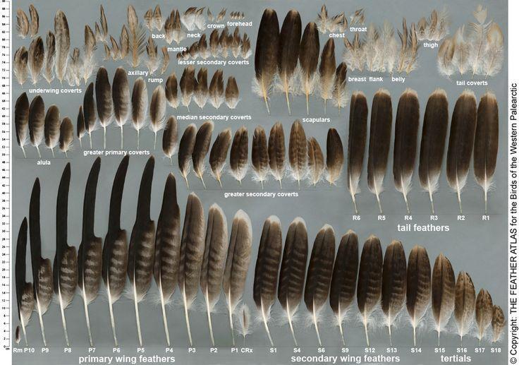 bald eagle feather chart