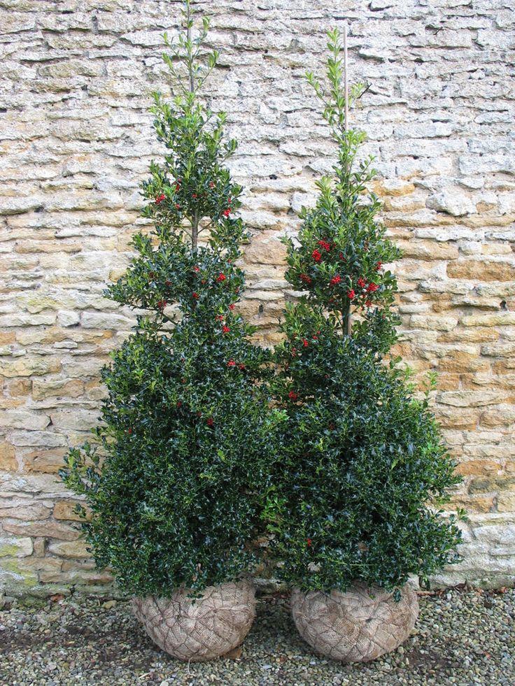 wykeham mature plants jpg 422x640
