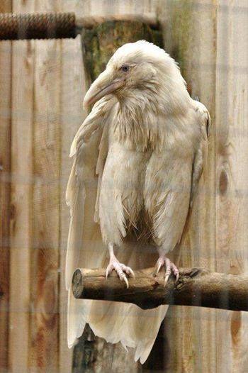 Tough old bird!  White Raven
