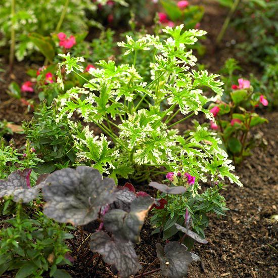 Variegated scented geranium (Pelargonium citrosum) -- aka the mosquito plant. Lemony scent offers passersby a sensory moment.