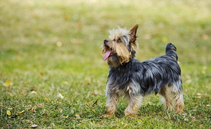 Yorkshire Terriers love everyone and are suited to many types of homes because they are so good natured. Learn all about Yorkshire Terrier breeders, adoption health, grooming, training, and more.