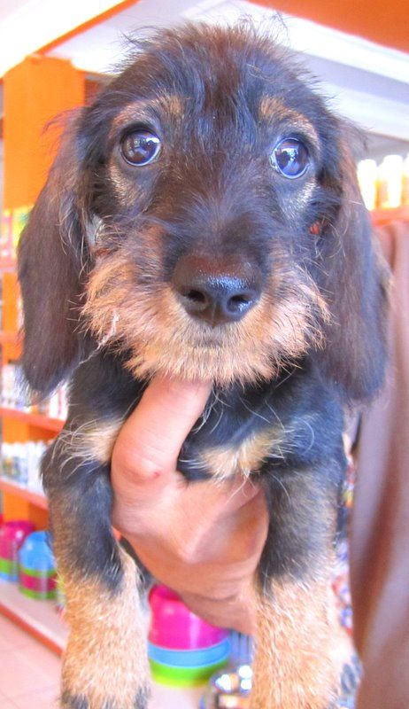 Wired Hair Dachshund - like my Gordon.  This face hurts me to my core with cuteness.