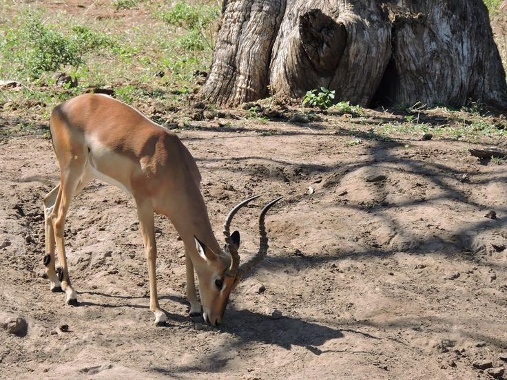 Impala in the Chobe National Park, Botswana