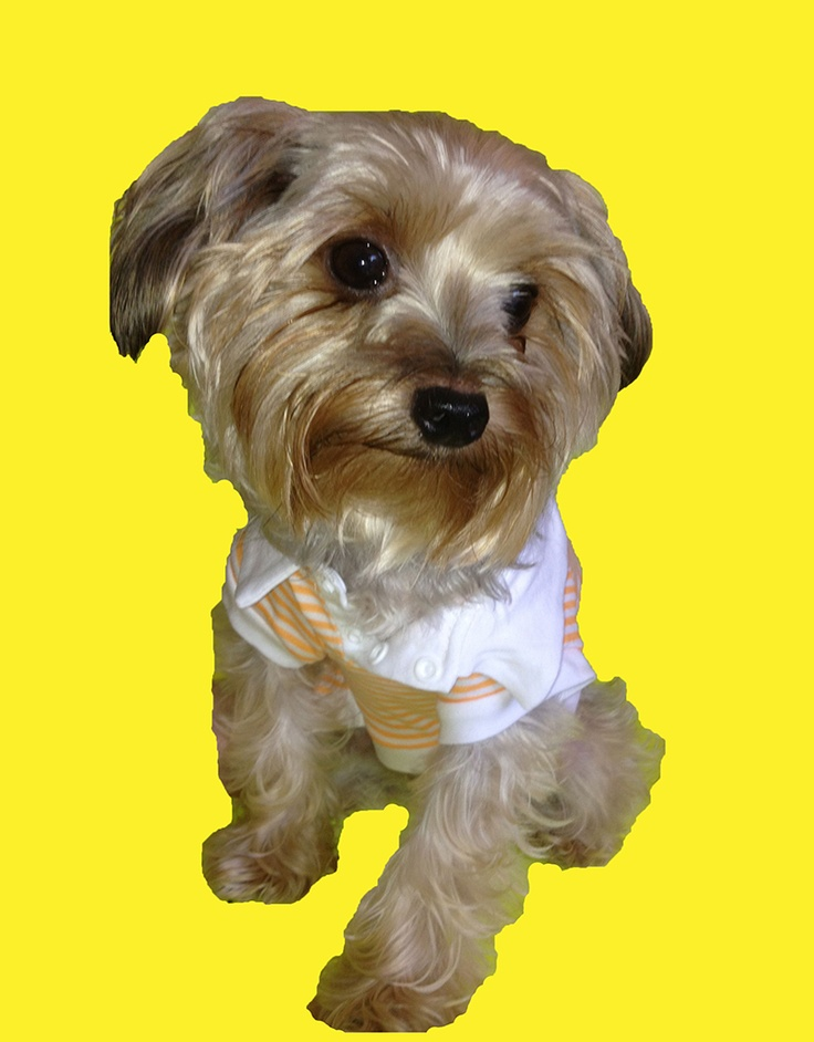 Yorkies r too cute in polos!  Look at this sweet dog Eli... adorable!!!  #puppy #yorkshire terrier  www.fetchdogfashions.com