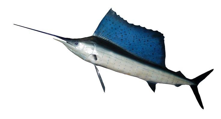 PEZ VELA DEL PACIFICO HISTIOPHORUS PALTYPTERUS Puede superar los 2 metros de longitud y los 100 kilos de peso. Todas las especies de pez vela, marlines y peces espadas son codiciados trofeos de pesca. Debido a la pesca indiscriminada actualmente se lo considera especie en peligro de extinción.