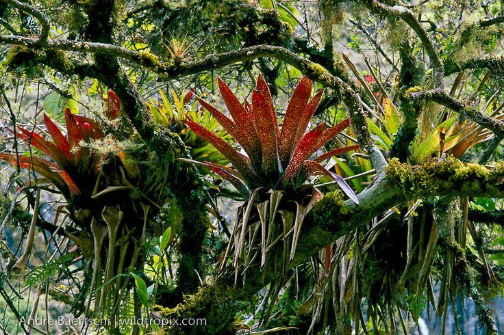 Bromeliads Bromeliaceae On Moss Covered Tree In Montane