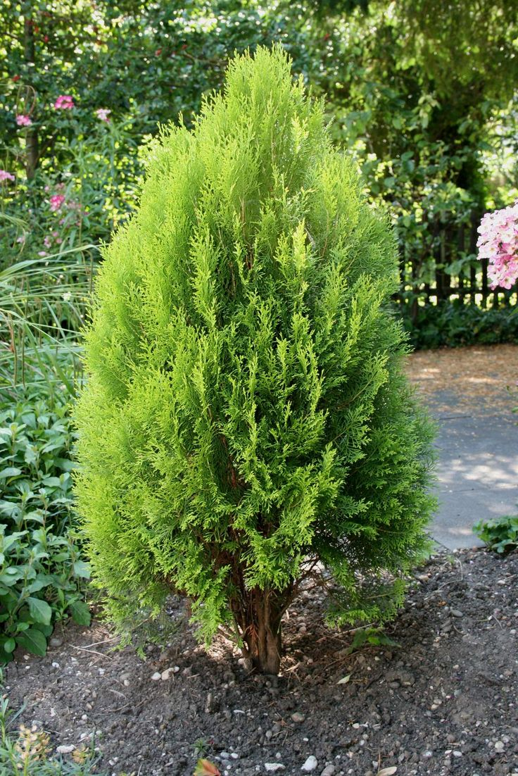 M s de 1000 ideas sobre thuja occidentalis en pinterest for Arboles para jardines pequenos