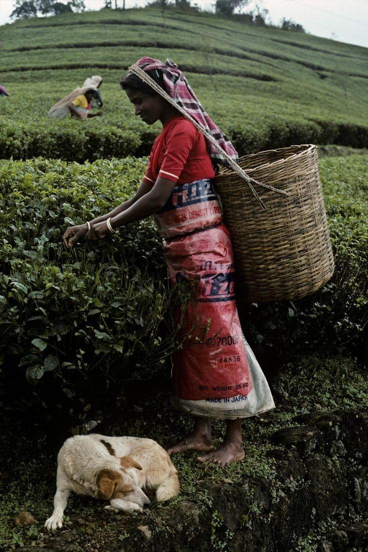 Sri Lanka, picking tea leaves Sri lanka photography