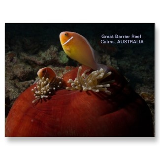 Postcard featuring pair of clownfish in a ball anemone.
