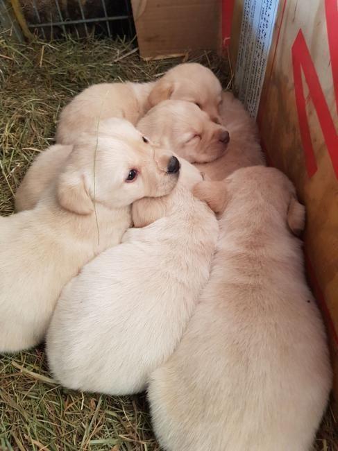Labrador : Joli labrador a vendre pour tous renseignements tel 0796704429 madame Maitre a St-Brais