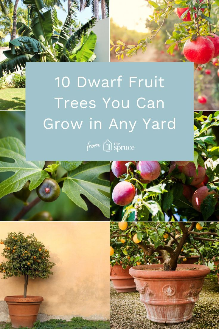 Discover Great Dwarf Fruit Trees You Can Grow In Any Yard Dwarf Fruit Trees Small Fruit Trees Small Flower Gardens