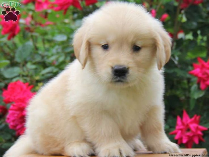splash golden retriever puppy for sale from parkesburg