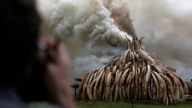 ivory tusks taken from poachers being burnt-photography by reuters