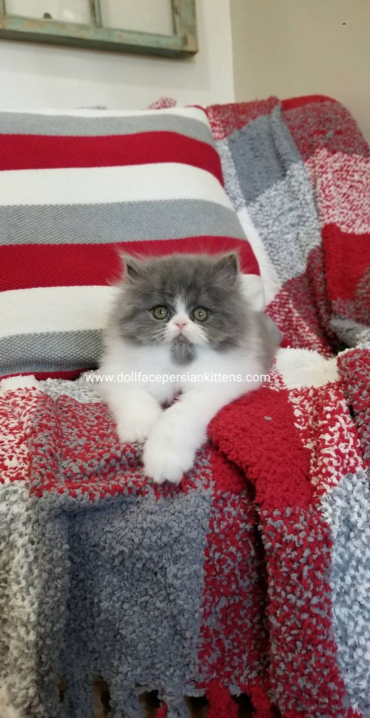 Pin by pafyy pafyy on Blue and White Bicolor Persian