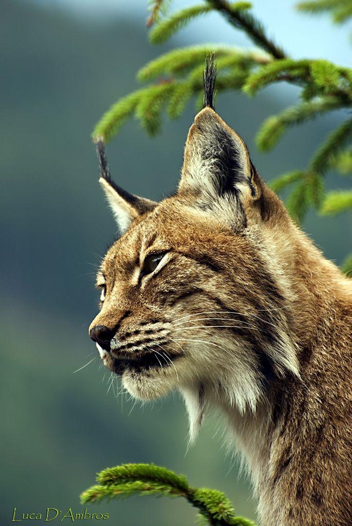 Lynx (Foto: Luca D'Ambros)