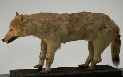Lobo-de-Honshu-300x189 Animais Extintos - Fotos