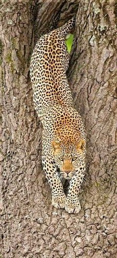 Cheetah. !IEC. Not a chance. Sorry, this is a Leopard. Cheetahs don't climb trees