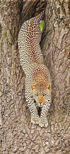 Cheetah. !IEC. Not a chance. Sorry, this is a Leopard. Cheetahs don't climb trees