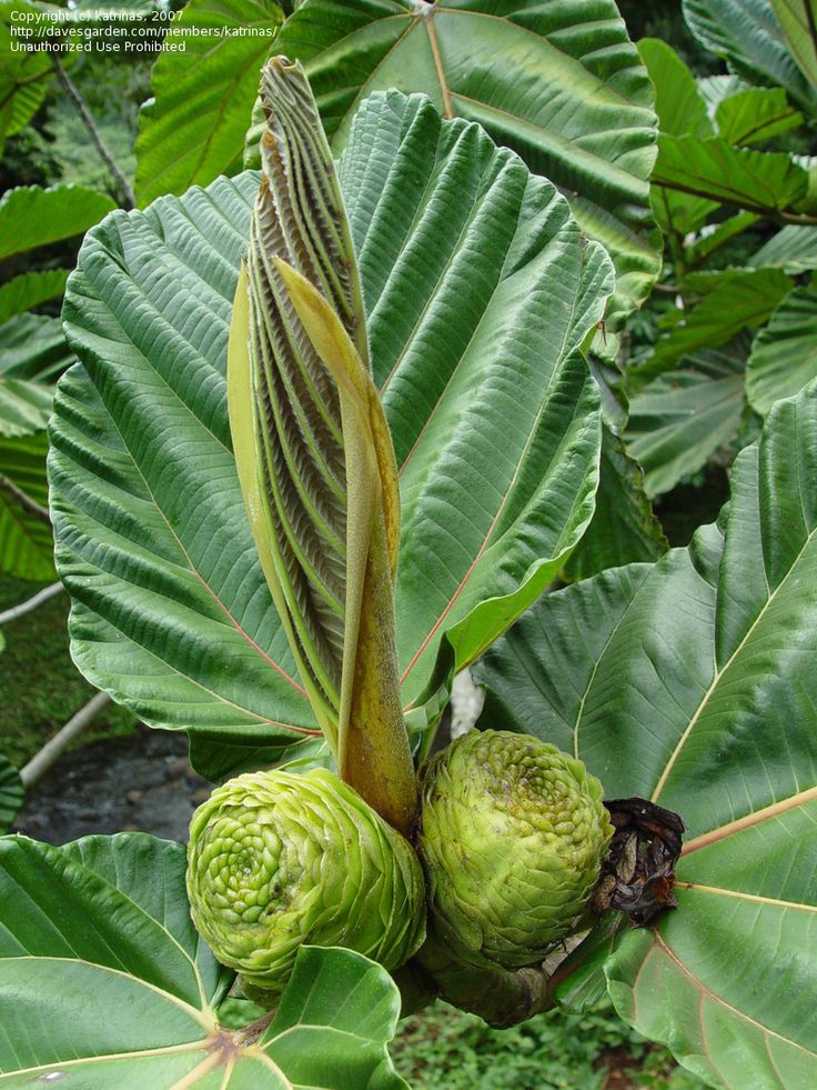 Garden Bush: Dinner Plate Fig, Highland Breadfruit Ficus Dammaropsis