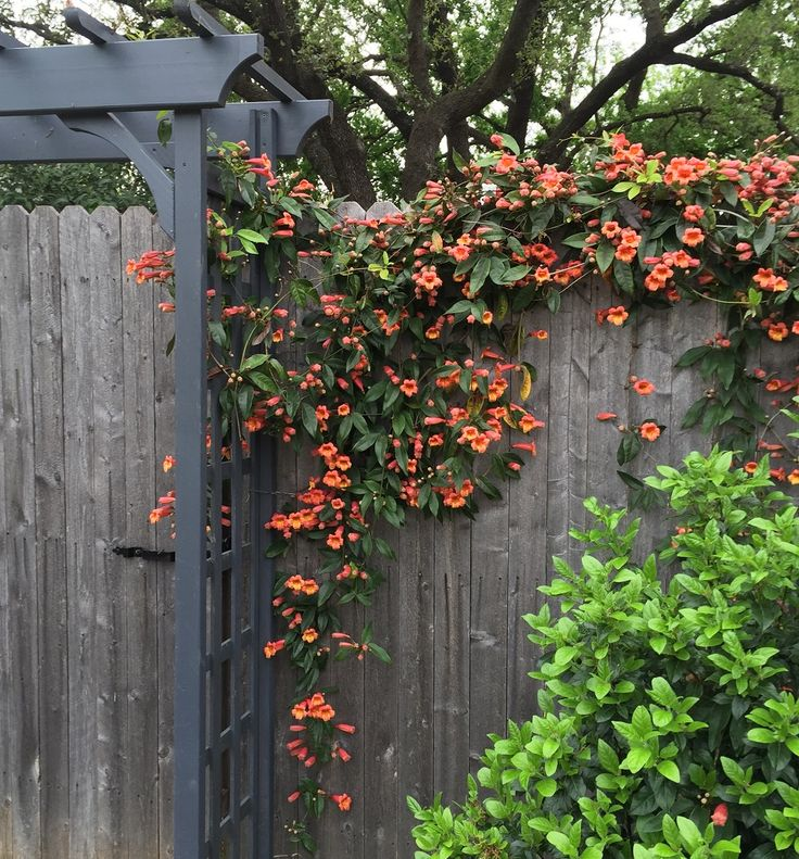 Crossvine Is Typically One Of The Blooming Plants To