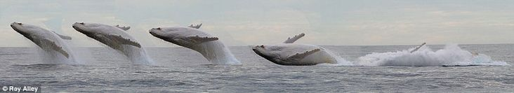 cool-albino-white-whale-jumping-sequence