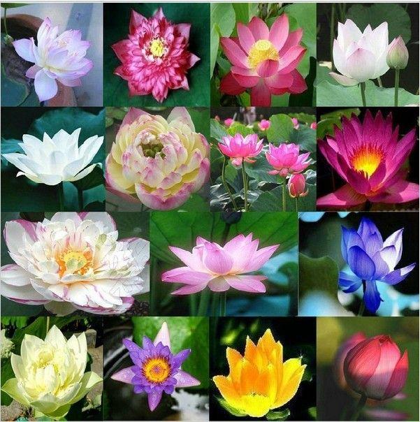5 шт. Семена Лотоса Водные растения цветут Водяные лилии семян растения Бонсай Семена для дома и сада 49%