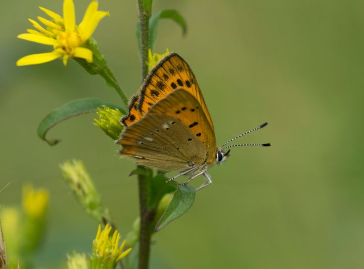 Lycaena virgaureae female on goldenrod - Goldenrod is a popular foodplant for this butterfly species.