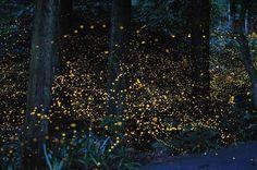 Il bosco incantato dalle lucciole: le splendide immagini di Tsuneaki Hiramatsu, nei pressi di Okayama nella zona di Hokubo