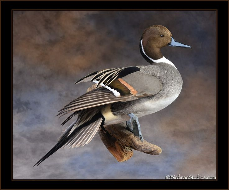 78+ images about Bird mounts. on Pinterest
