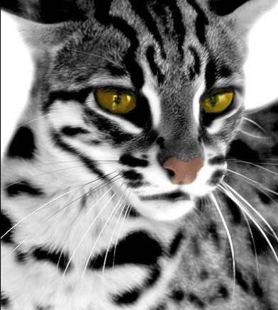 Asian Leopard Cat by Silvi Poom