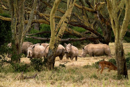 nice White rhinos among yellow fever acacias Check more at http://www.discounthotel-worldwide.com/travel/white-rhinos-among-yellow-fever-acacias/