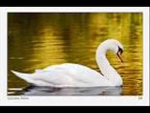 """Fogón Rural : Cisne de cuello negro...Leyenda entre los tehuelches...En la música, letra """"Cisne cuello negro, cisne cuello blanco"""" http://fogonrural.blogspot.com.ar/2015/09/cisne-de-cuello-negroleyenda-entre-los.html?spref=bl"""